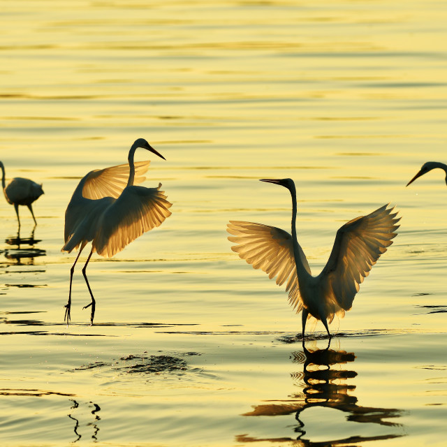 """Dancing egrets"" stock image"