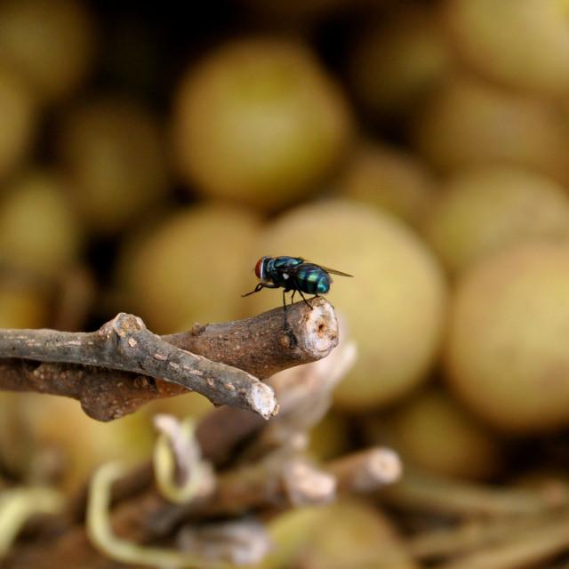 """A blue bottle fly"" stock image"