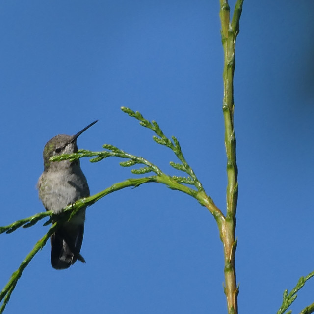 """""""Hummingbird perched on top of tree"""" stock image"""