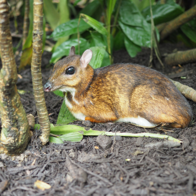 """""""Mousedeer taking a rest"""" stock image"""