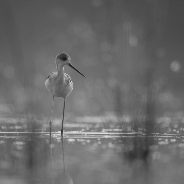 """""""Black-winged Stilt long legged water bird"""" stock image"""