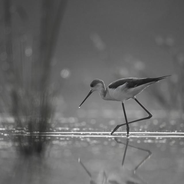 """""""Black-winged Stilt long legged water bird walking in the lake at"""" stock image"""