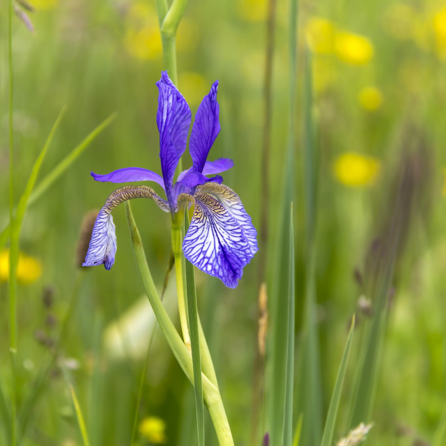 """""""An iris flower grows on a lawn"""" stock image"""