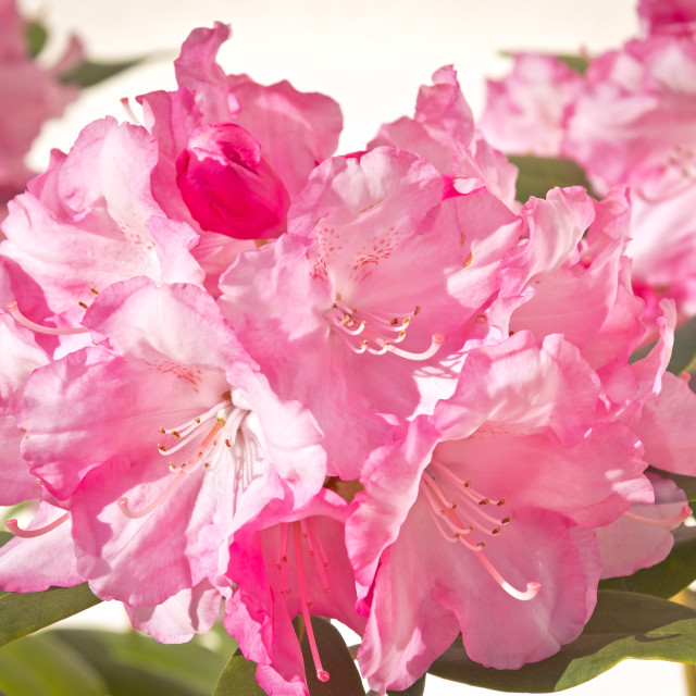 """""""Beautiful pink rhododendron"""" stock image"""