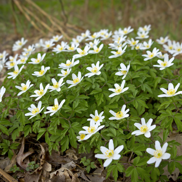 """""""Anemone nemorosa is an early-spring flowering plant"""" stock image"""