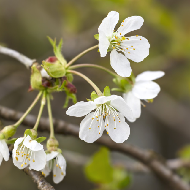 """""""White Apple Blossoms in Springtime"""" stock image"""