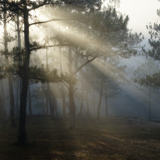 """Morning in a pine forest"" stock image"