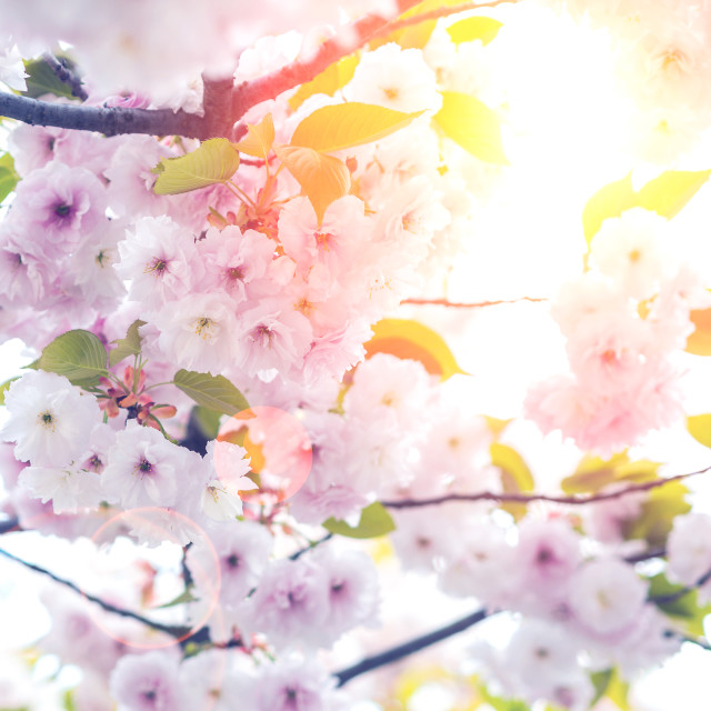 """closeup view of cherry tree blossoming with strong backlight"" stock image"