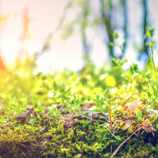 """closeup of green grass in summer forest with backlight"" stock image"