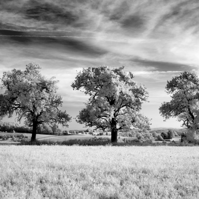 """Infrared Three Trees in Field"" stock image"