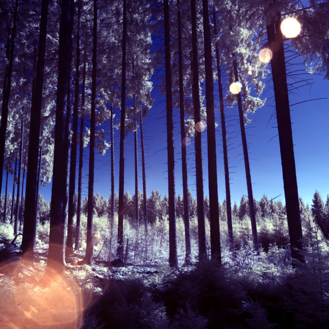 """Infrared forest with sunflair"" stock image"