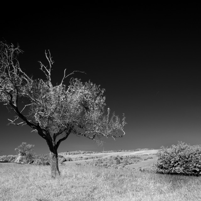 """Dead tree in Infrared"" stock image"