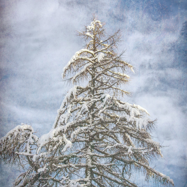 """fir covered with snow - wintertime nature"" stock image"