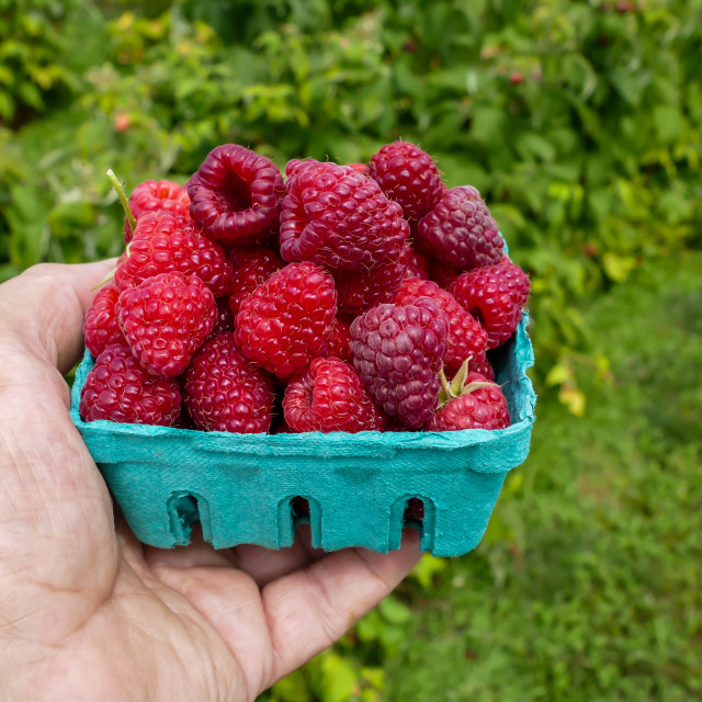 """""""Raspberries inside green container"""" stock image"""