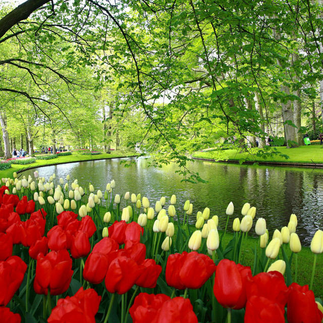 """Keukenhof Tulips Garden."" stock image"