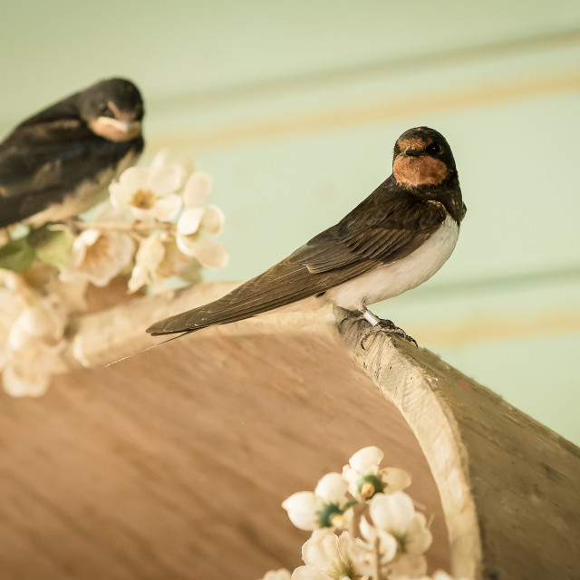"""""""Wild birds, swallows perched"""" stock image"""