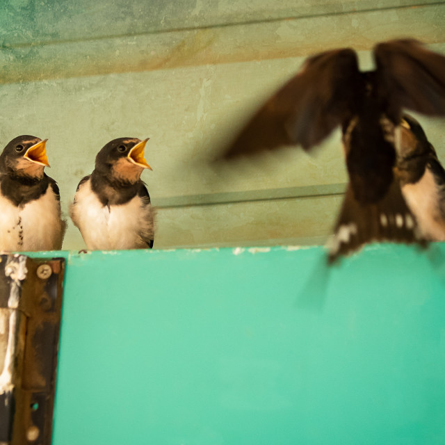 """""""Fledglings being fed by mum inflight"""" stock image"""