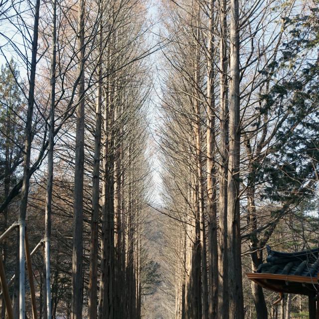"""Nami Island's Aisle of Trees"" stock image"