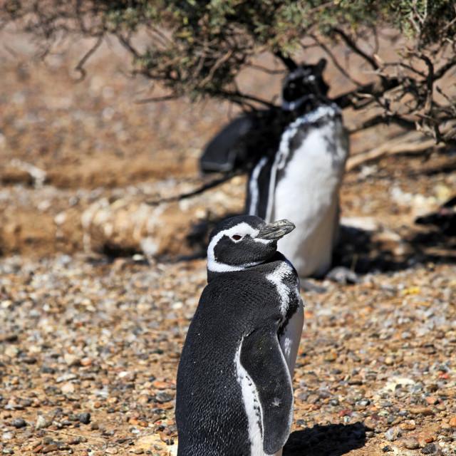 """Magellanic penguin continental colony"" stock image"