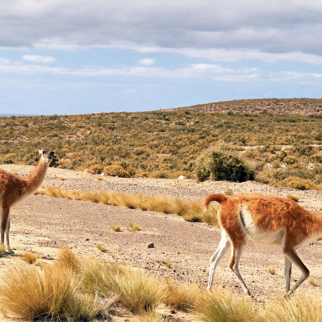 """""""Guanacos in Patagonian steppe"""" stock image"""
