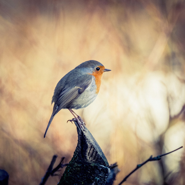 """Robin On The Branch"" stock image"