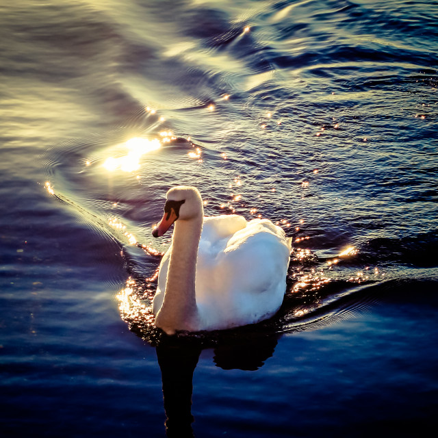 """Swan Swimming In The Sun"" stock image"