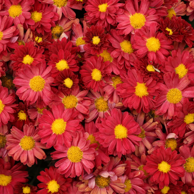 """Chrysanthemums"" stock image"