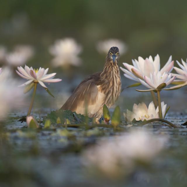 """Indian Pond heron"" stock image"