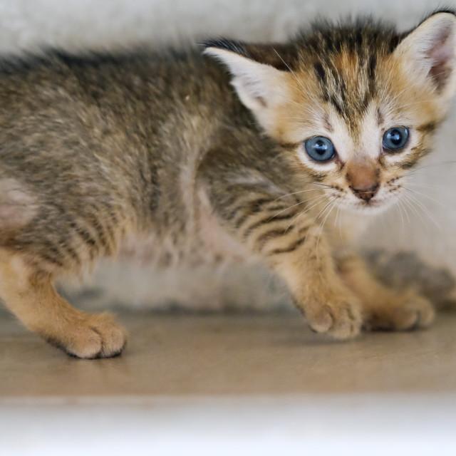 """Brown Kitten Portrait"" stock image"