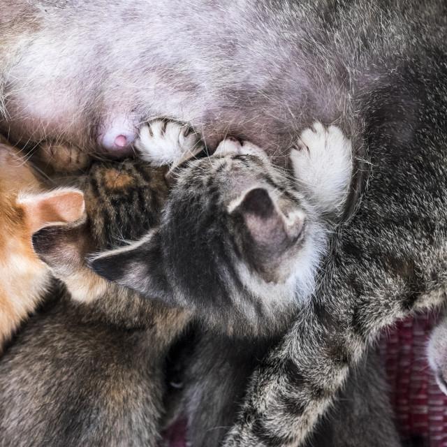 """Kittens Sucking Milk"" stock image"