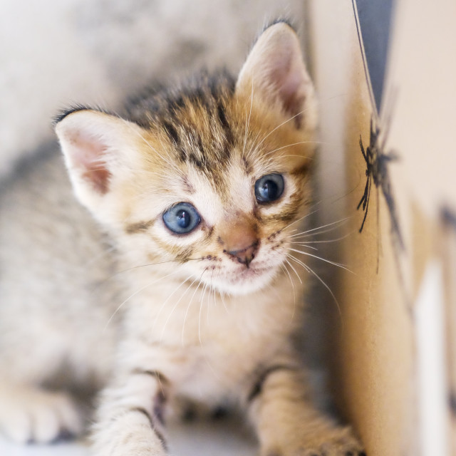 """Light Brown Kitten"" stock image"