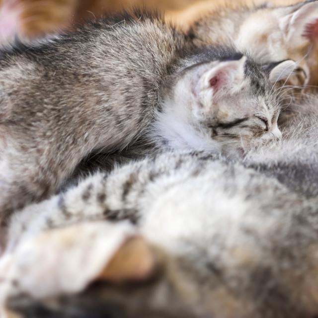 """""""Kitten Sucks Milk"""" stock image"""