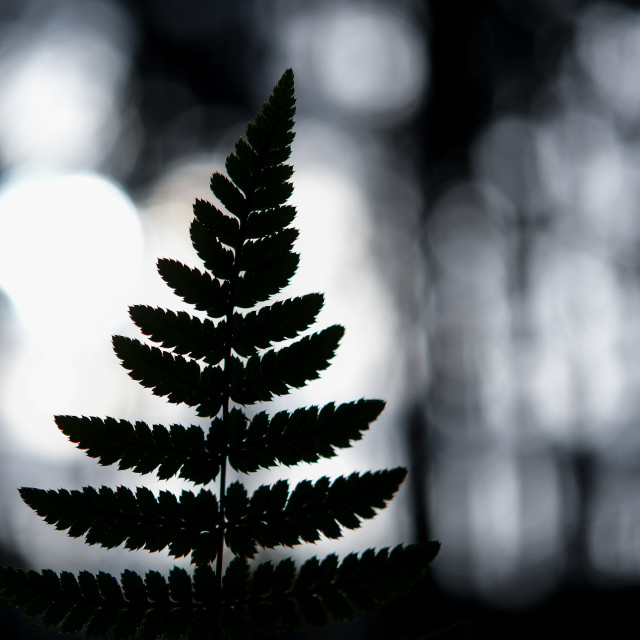 """A fern in the dark forest"" stock image"