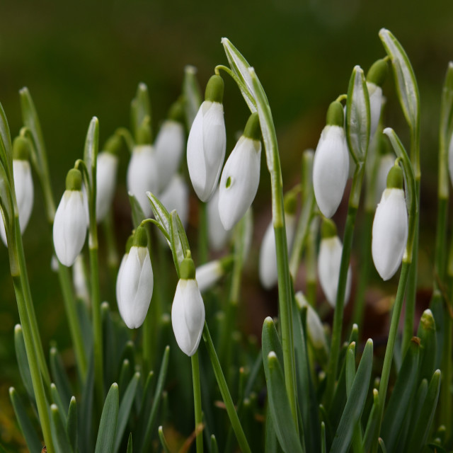 """Snowdrops blooming"" stock image"