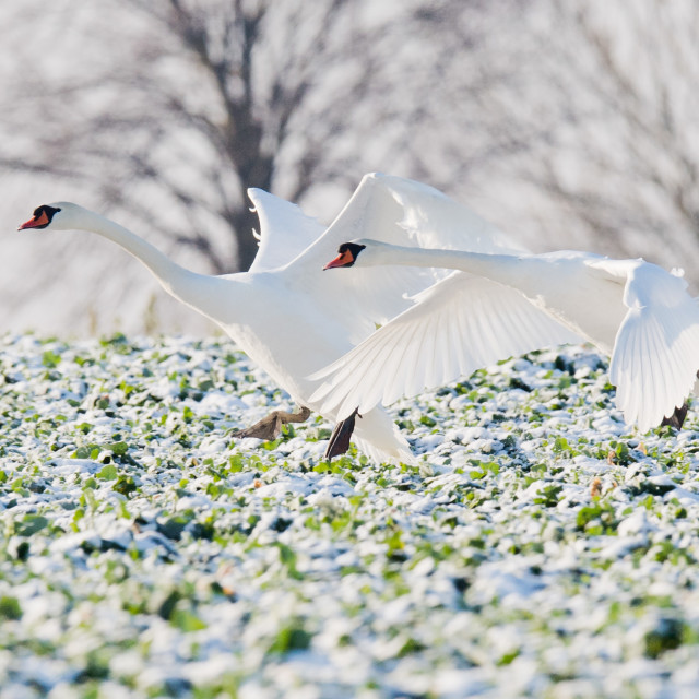 """Swans in Lower Saxony"" stock image"