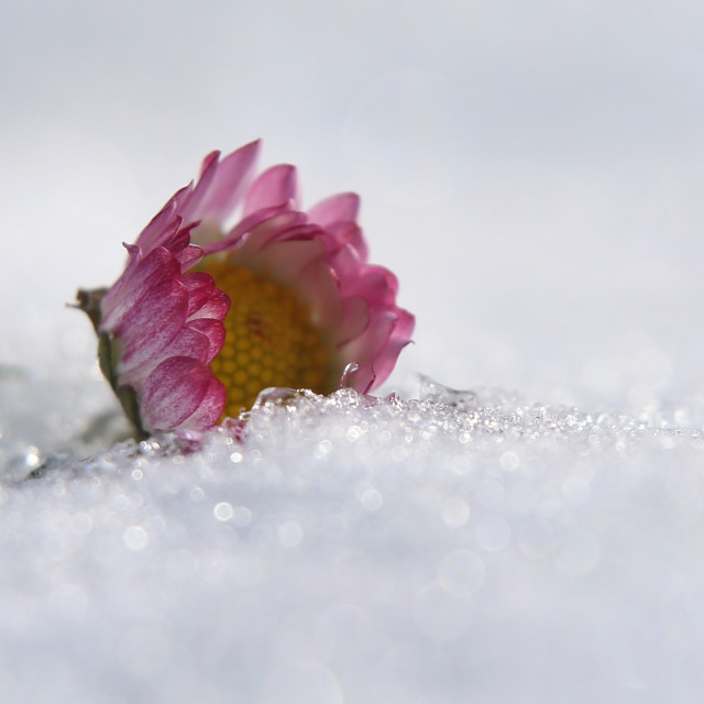 """Daisies in the snow"" stock image"