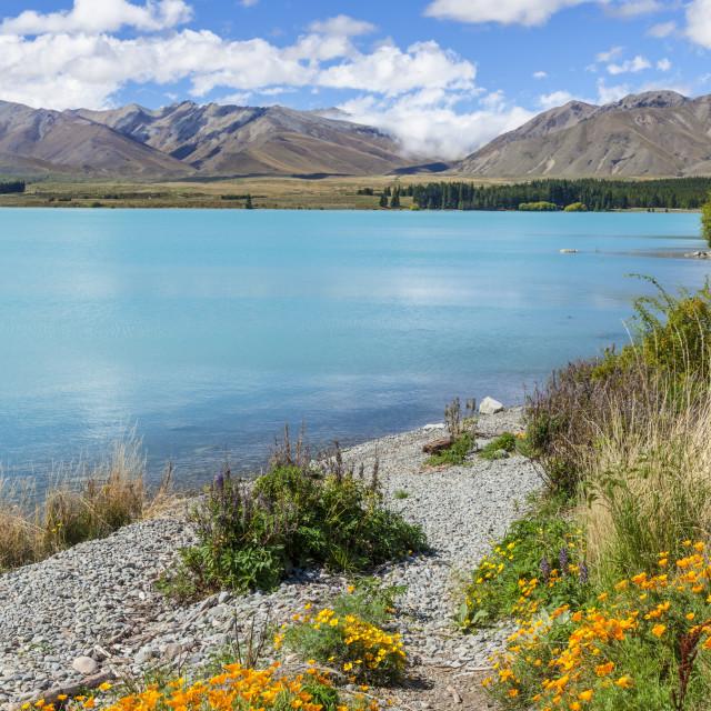 """Yellow flowers by glacial Lake Tekapo, South Island, New Zealand, NZ"" stock image"