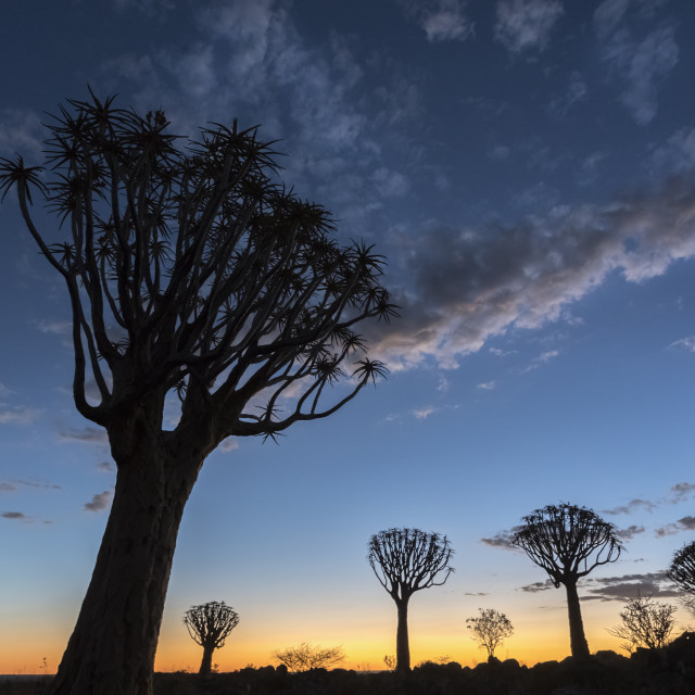 """Quiver tree at sunset (kokerboom) (Aloidendron dichotomum, formerly Aloe..."" stock image"