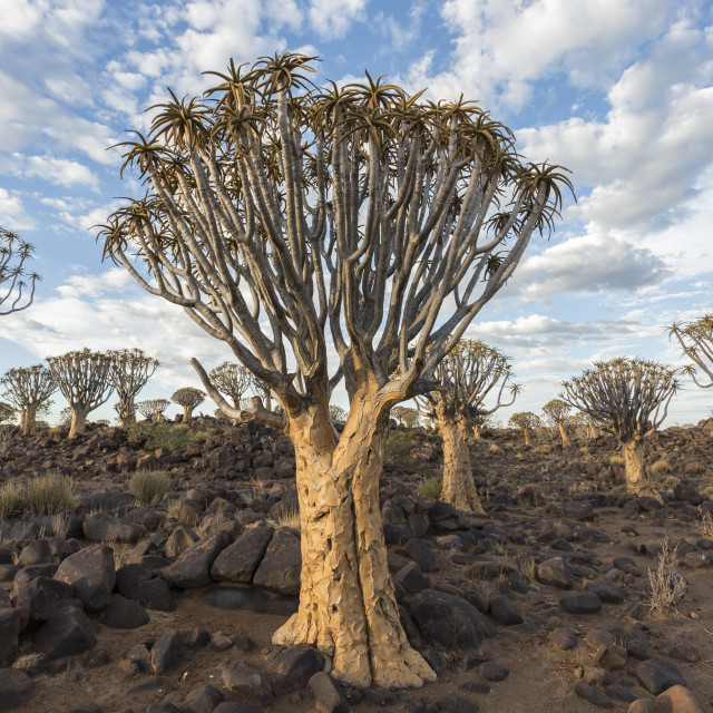 """Quiver trees (kokerboom) (Aloidendron dichotomum, formerly Aloe dichotoma),..."" stock image"