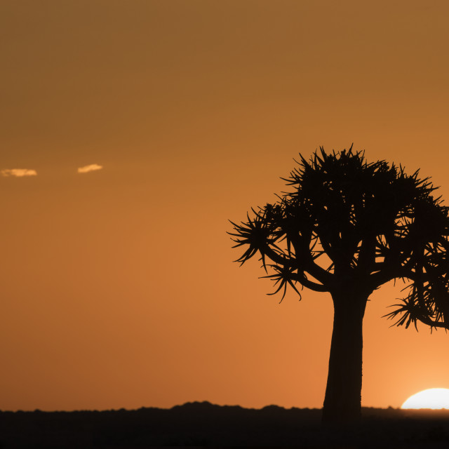"""Quiver trees at sunset (kokerboom) (Aloidendron dichotomum, formerly Aloe..."" stock image"