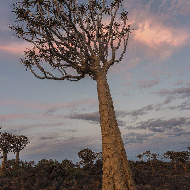 """Quiver tree in twilight (kokerboom) (Aloidendron dichotomum, formerly Aloe..."" stock image"