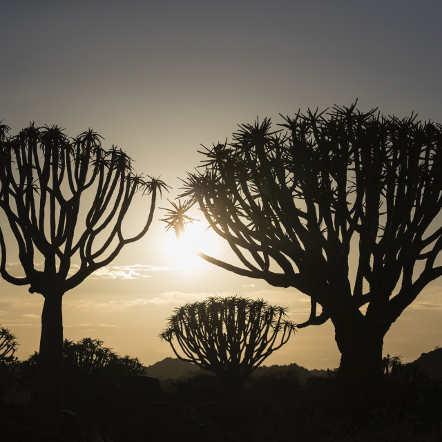 """Quiver trees at sunrise (kokerboom) (Aloidendron dichotomum, formerly Aloe..."" stock image"