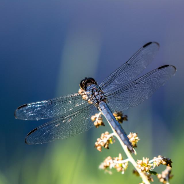 """Dragonfly Against Bokeh Blue"" stock image"