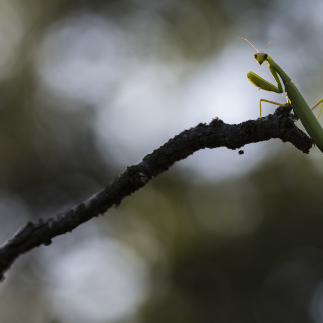 """Closeup of a praying mantis looking at you"" stock image"