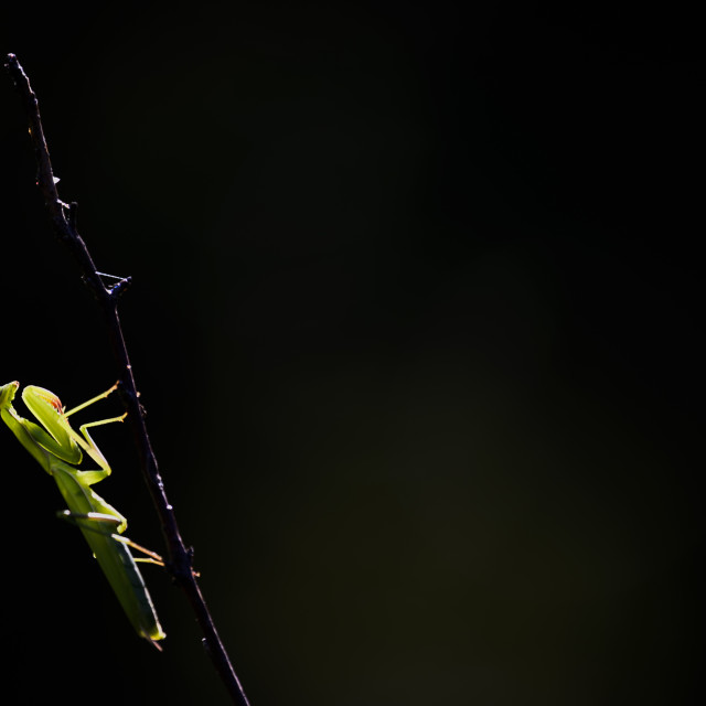 """Close-up of a praying mantis"" stock image"