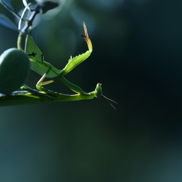 """A praying mantis in an olive tree"" stock image"