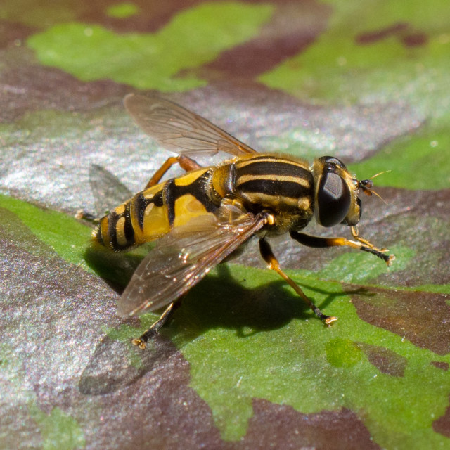 """""""Hoverfly on Lilypad"""" stock image"""