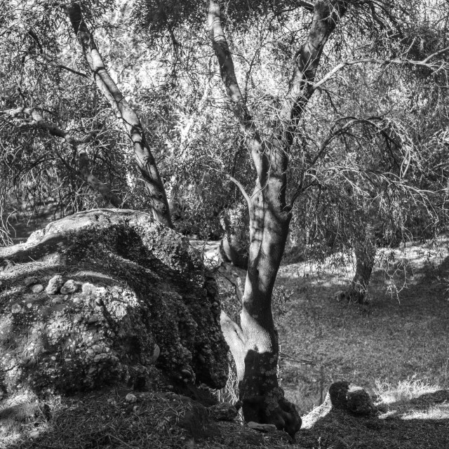 """""""In The Olive Grove"""" stock image"""