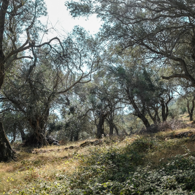 """""""In The Olive Grove 2"""" stock image"""