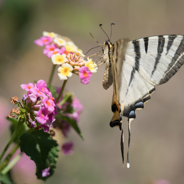 """""""Swallowtail Butterfly"""" stock image"""